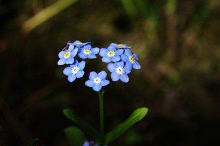 forget-me-not-heart.jpg